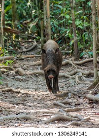 A Bornean bearded pig roots along a trail, in Tanjung Puting National Park, Kumai, Indonesia