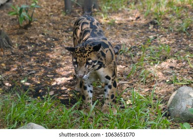 Bornean clouded leopard in the zoo