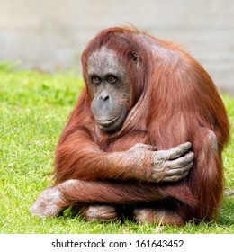 Bornean orangutan looking at camera