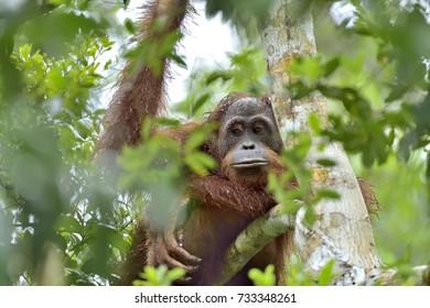 Bornean orangutan on the tree under rain in the wild nature. Central Bornean orangutan ( Pongo pygmaeus wurmbii ) on the tree  in natural habitat. Tropical Rainforest of Borneo.Indonesia