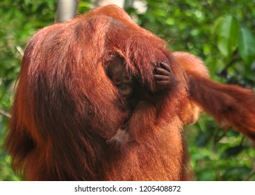 Bornean orangutan (Pongo pygmaeus), mum from her back and baby betwen her arms with fear face but protected. Tanjung Puting, Kalimantan, Borneo, Indonesia. Tanjung Puting, Kalimantan, Borneo, Indonesi