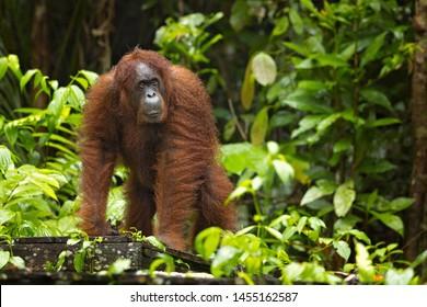 L'orang-outan de Bornéo (Pongo pygmaeus) est une espèce d'orang-outan originaire de l'île de Bornéo. Est une espèce en danger critique d'extinction, avec la déforestation, les plantations de palmiers à huile et la chasse