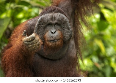 Bornean orangutan (Pongo pygmaeus) is a species of orangutan native to the island of Borneo. Is a critically endangered species, with deforestation, palm oil plantations, and hunting