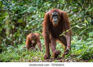 Bornean orangutan in the wild nature. Central Bornean orangutan ( Pongo pygmaeus wurmbii )  in natural habitat. Tropical Rainforest of Borneo.Indonesia