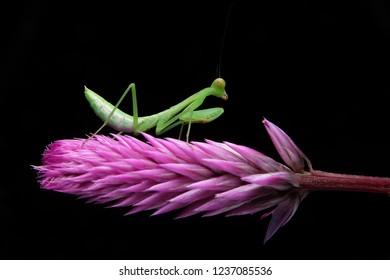 Borneo Asia Green Mantis