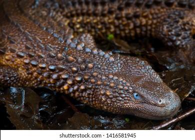 Borneo earless monitor (Lanthanotus borneensis)