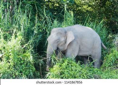 Borneo Elephant (Elephas maximus) - Out of the Bushes