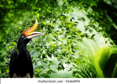 Borneo exoctic great hornbill in tropical rainforest, Malaysia.