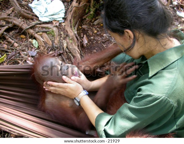 Borneo (Kalimantan) Orangutan baby and it's babysitter.