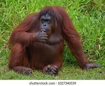 Borneo orangutan in zoo