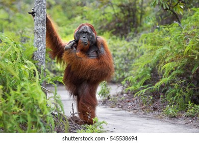 Borneo. Sumatra. Orangutan