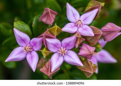 Boronia alata flowers and buds