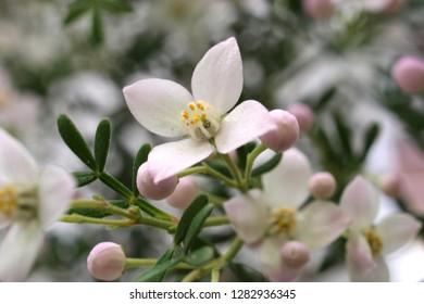 Boronia anemonifolia blooming in a garden