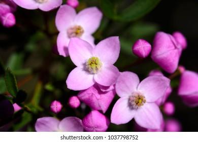 Boronia flowers, Muogamarra Nature Reserve Australia