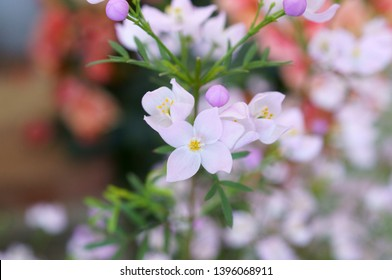 Boronia little light purple flower