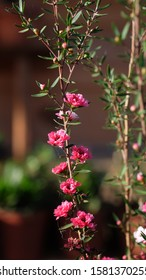 Boronia Pinnata trees with pink flowers blooming in the garden