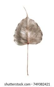 Borwn bothi leaf (Pho leaf, bo leaf) isolated on white background.