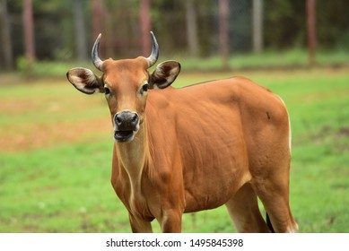 Bos javanicus, cow, Banteng, red bull, southeast Asia wild life animal in Thailand forest