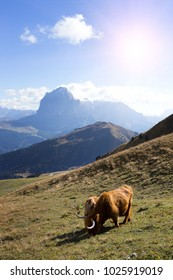 Bos mutus at the mountains Dolomites and views of the valley, Italy. Seceda