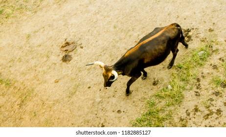 Bos primigenius - aurochs