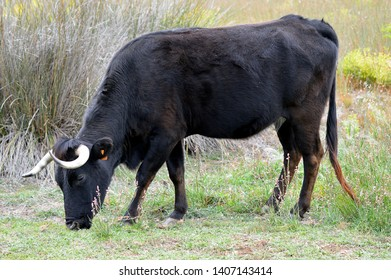 Bos primigenius taurus (Cattle or cow), the most common type of large domesticated ungulates (Artiodactyla, Bovidae).