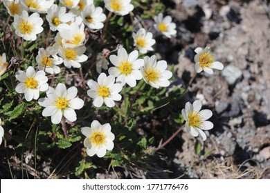 BOSANDEN, NORDLAND COUNTY / NORWAY - JUNE 20 2020: Dryas octopetala (mountain avens, white dryad) blooming in Engeløya (Engeloya) island