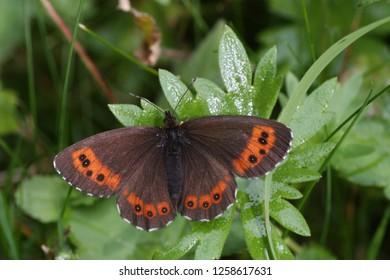 Boserebia, Arran brown
