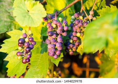 Boskoop glory is a disease-resistant, cold-tolerant grape variety from the Netherlands. It is thought to be a hybrid between Vitis vinifera and Vitis labrusca.