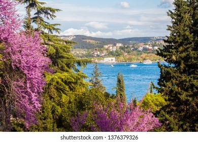 Bosphorus and judas trees.İstanbul,Turkey