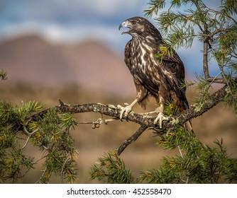 Bosque del Apache hawk