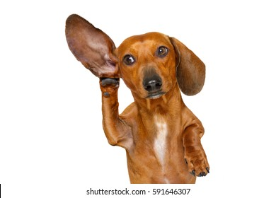 boss or business dachshund or  sausage dog listening with one ear very carefully , isolated on white background