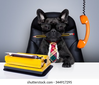 boss french bulldog dog    sitting on leather chair and desk as secretary or office worker with typewriter and pencil in mouth