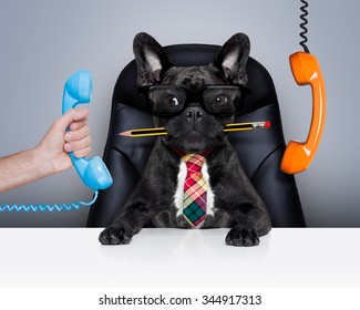 boss french bulldog dog    sitting on leather chair and desk as secretary or office worker with telephone  and pencil in mouth