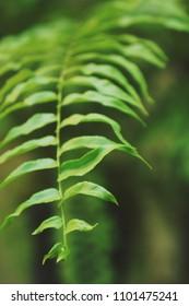 Boston fern leaves background