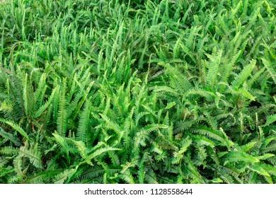Boston fern (Nephrolepis exaltata), green field, background - Pembroke Pines, Florida, USA