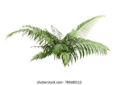 Boston Fern. Scientific name: Nephrolepis exaltata (L) Schott. isolated on white background