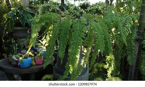 Boston Fern or Sword fern