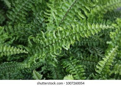 Boston fern is a tropical plant.