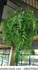 Boston ferns potted plant hanging. Ornamental plants in coffeeshop.