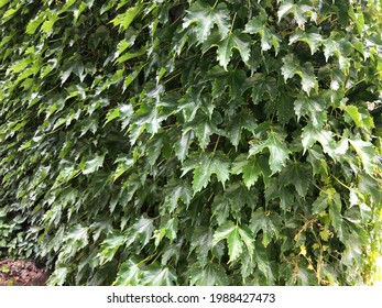 Boston ivy. Green leaves boston Ivy blooming in the park.(a Virginia creeper with three-lobed leaves)