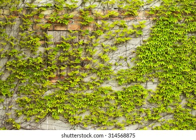 Boston ivy growing on a unplastered wall