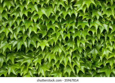 Boston ivy leaves perfectly covering wall