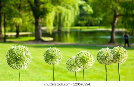 Boston Public Garden in the Spring with selective focus on a row of white Allium flowers in the foreground