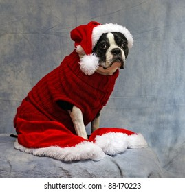 Boston Terrier is all dressed up to meet Santa at Christmas
