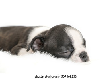 boston terrier baby dog sleep on white wool texture background