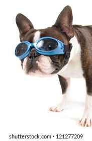 a boston terrier with blue goggles on