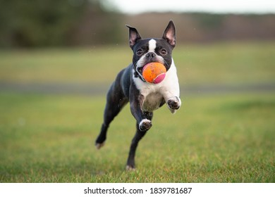 Boston Terrier Dog at the beach