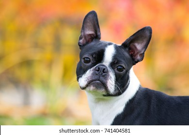 Boston terrier dog female outside. Dog in beautiful red and yellow park outside.