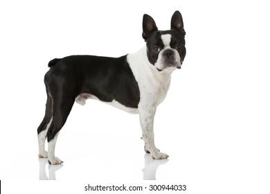 Boston terrier dog isolated on white