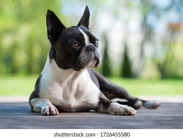 Boston terrier dog on brown terrace  - shallow depth of field